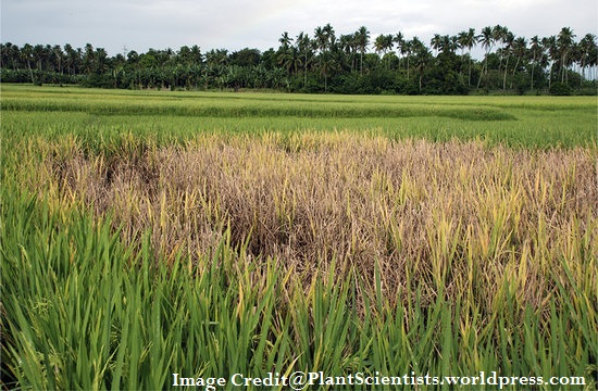 Bacterial Protein In Rice Plants Helps In Fighting With Blight Disease