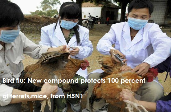 Bird Flu New Compound Protects 100 Percent of Ferrets Mice From H5N1