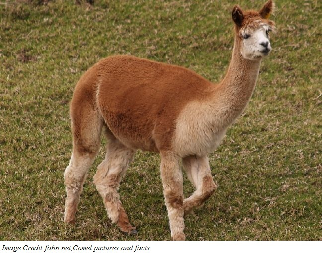Camel Alpaca Antibodies Target Anticancer Viruses Directly to Tumors