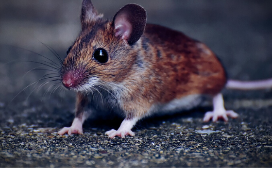 Man Killed by Hantavirus in China:All you have to think about the infection,and how it spreads