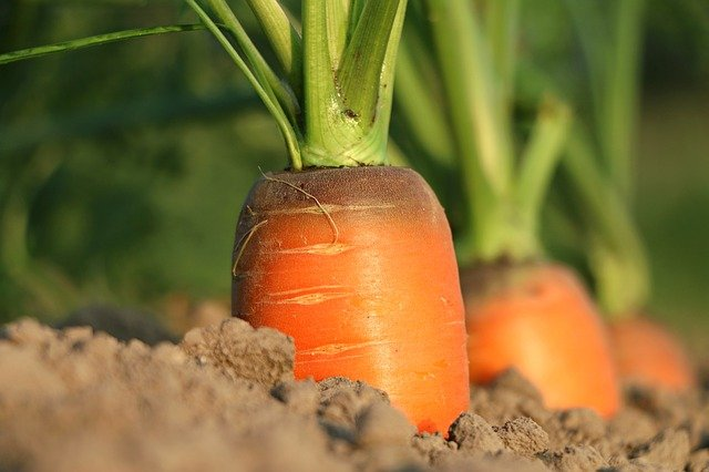 Active enzymes are expected to open full advantages of Vitamin A in carrots
