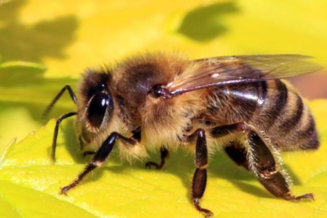 Researchers grow better approach to screen electrostatic signs radiated by honeybees